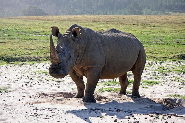 Rhinoceros_Brian Snelson